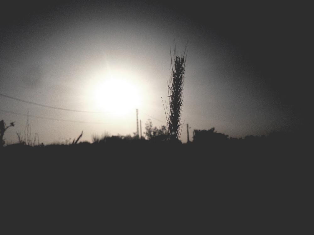 gray wheat silhouette free photo